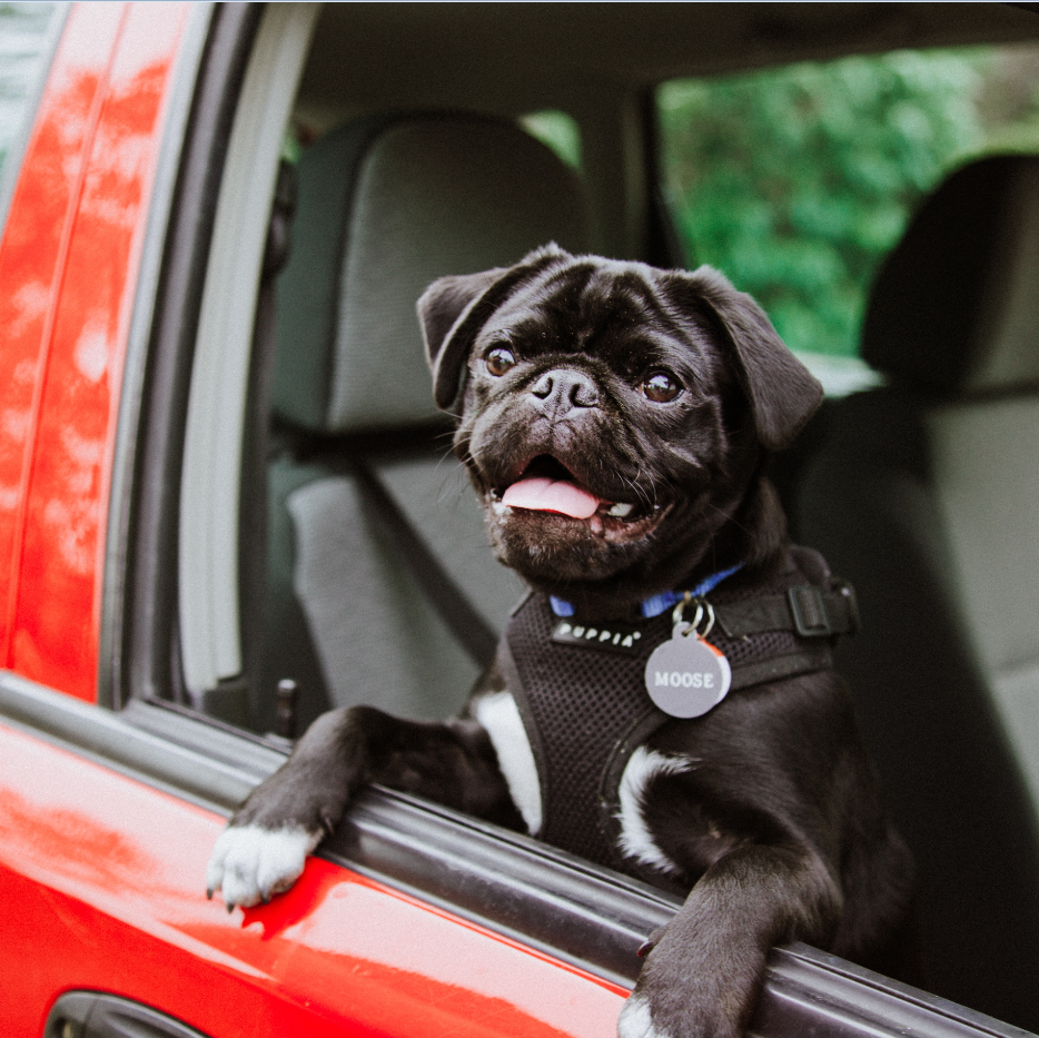 Let your puppy ride in a car